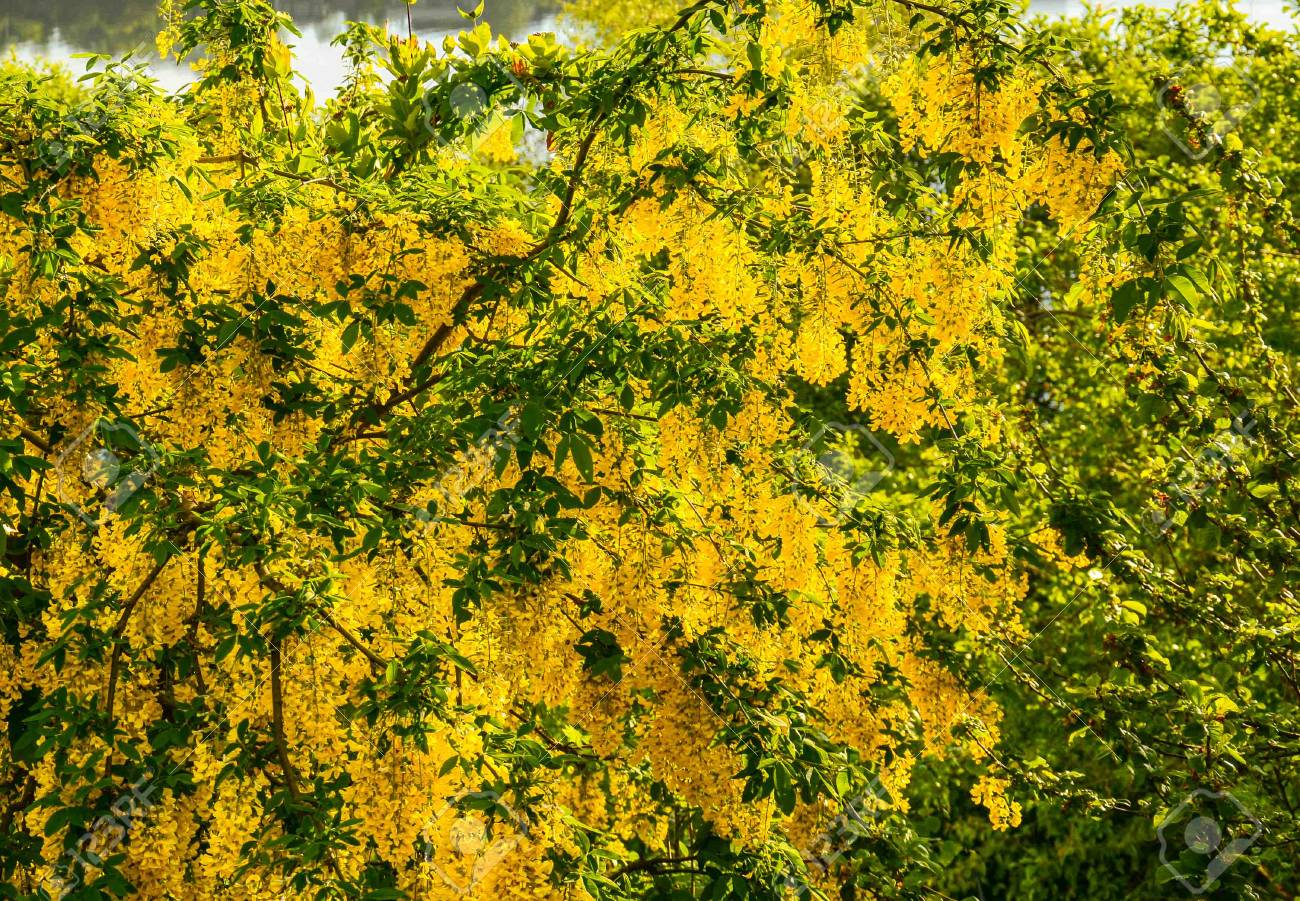 Tree With Yellow Flowers On The Coast Early Morning Norway