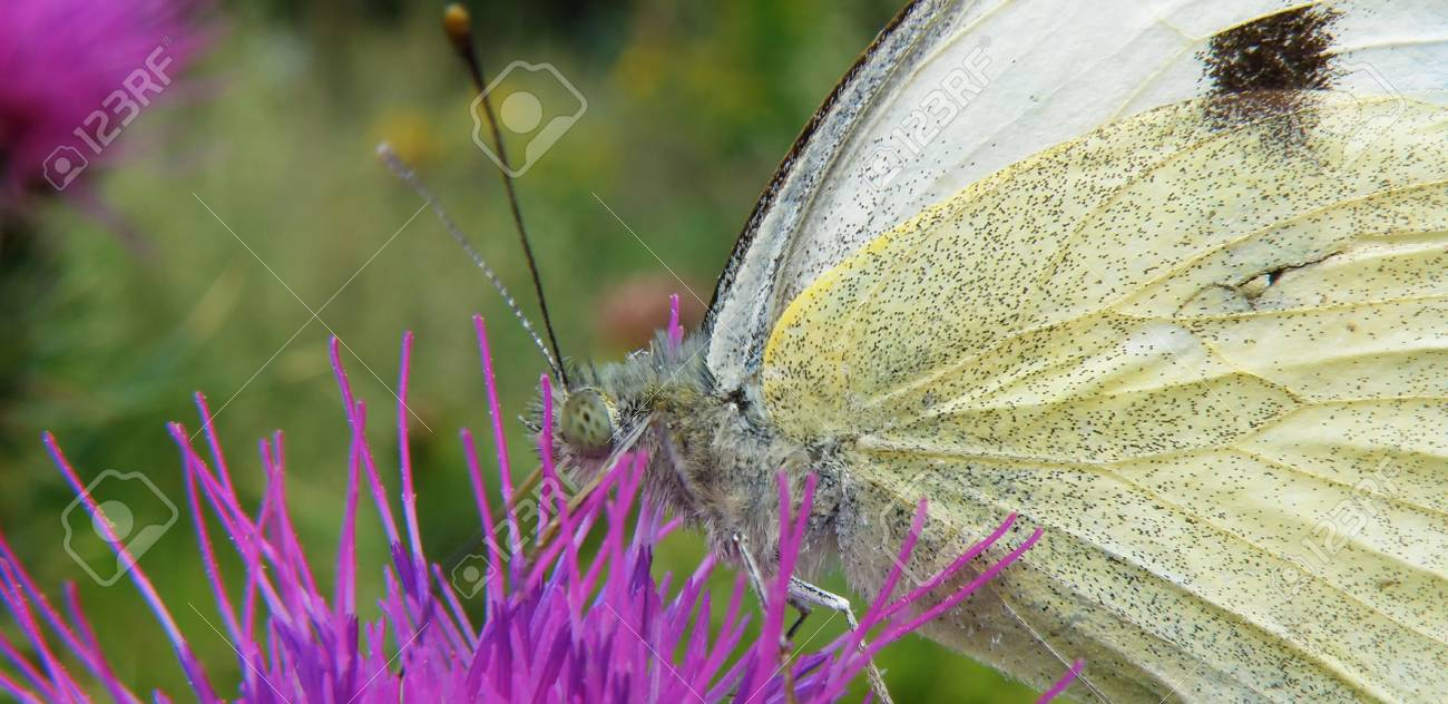 white butterfly on a purle thorn in garden Stock Photo - 5343751