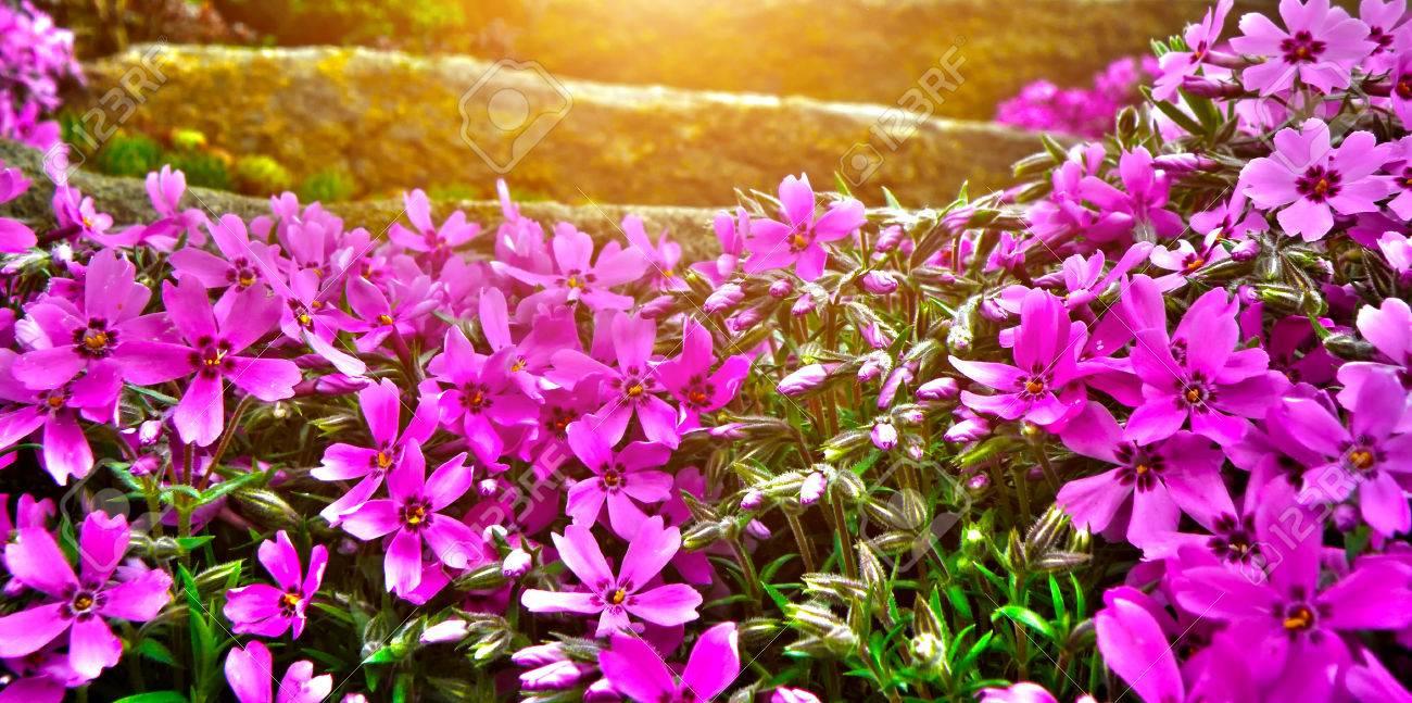 Detail Der Steingarten Blume. Nahaufnahme Makro Detail Von Lila Und ...