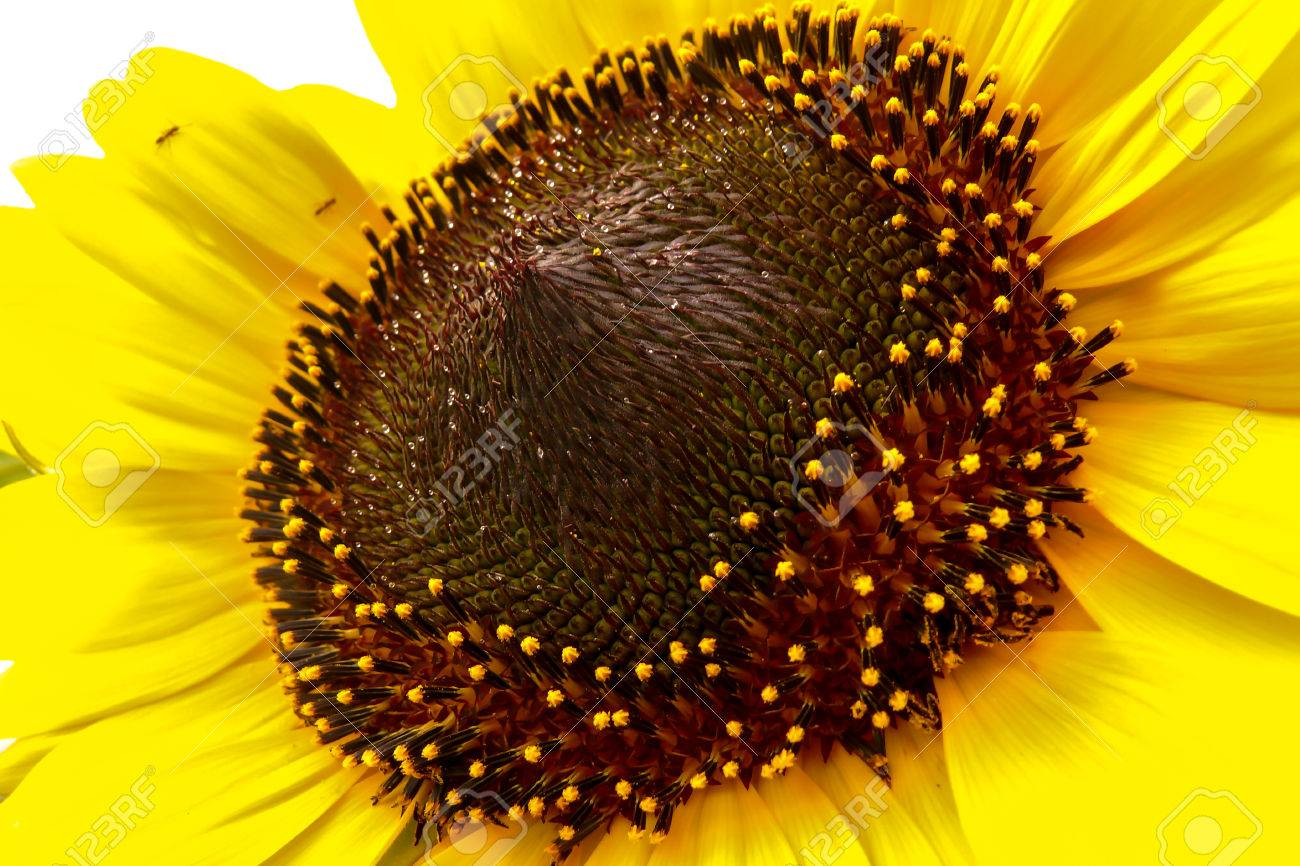 Macro View Of Sunflower With Its Crown And Stamens Stock Photo