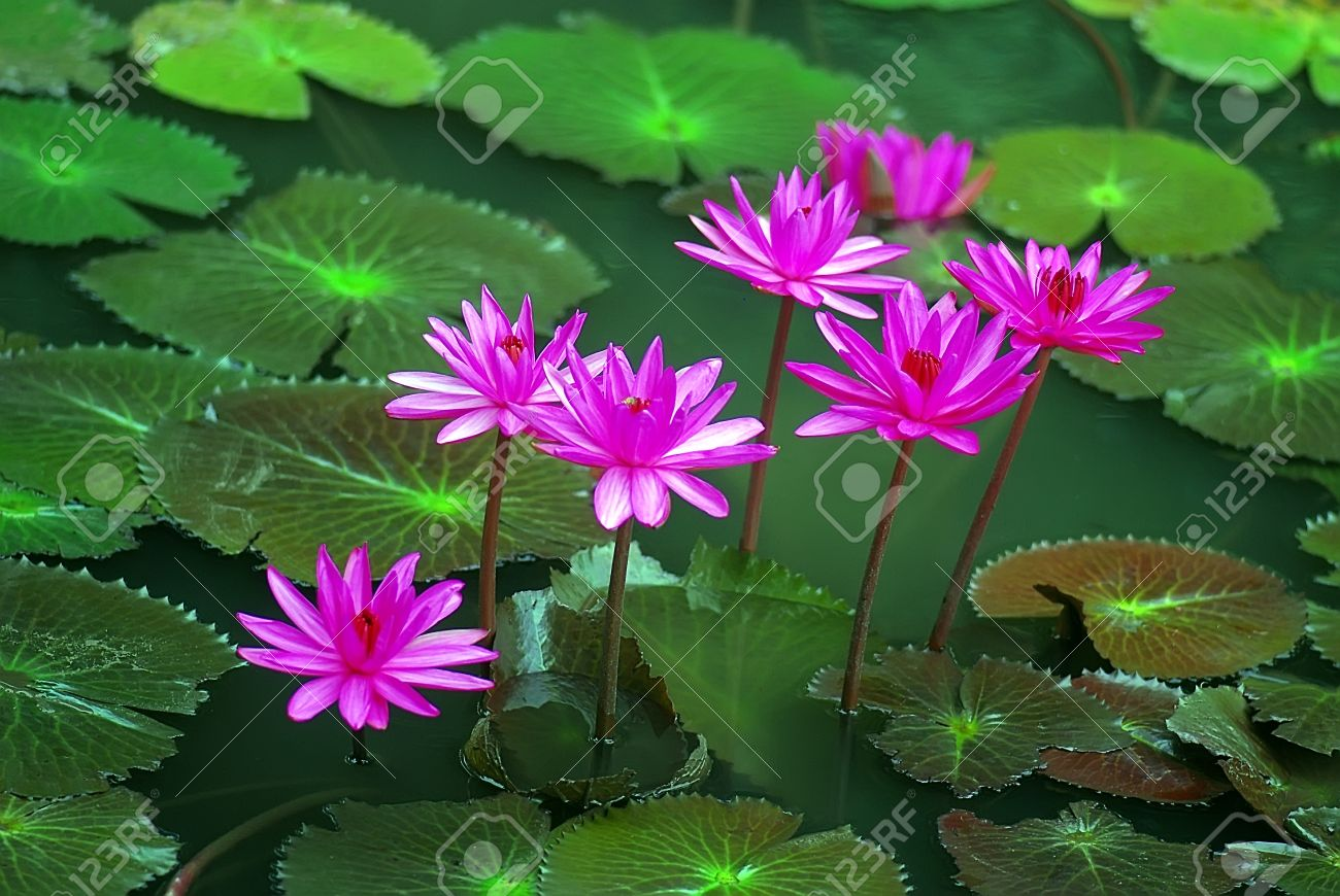 Water Lily Stock Photos Royalty Free Water Lily Images