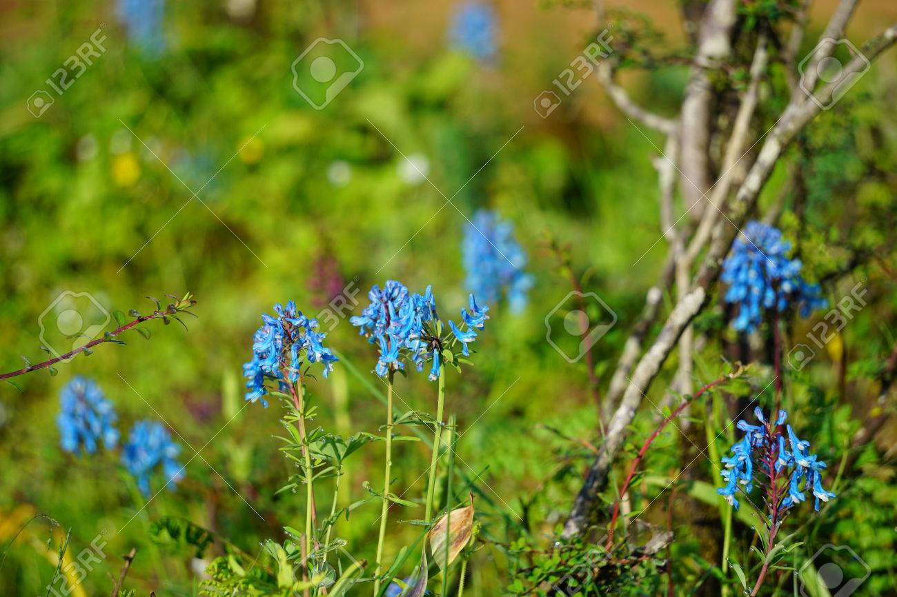 Close Up View Of Tiny Blue Flowers Stock Photo Picture And Royalty