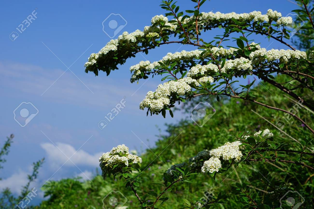Close Up View Of Tiny White Flowers Growing On The Tree Stock Photo