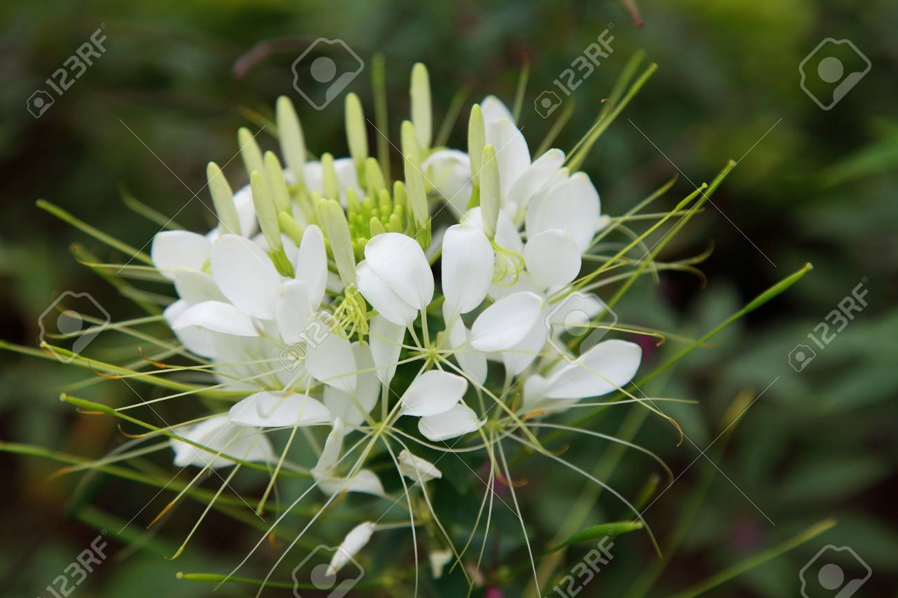 Close Up View To A White Spider Flower Growing In The Wild Stock