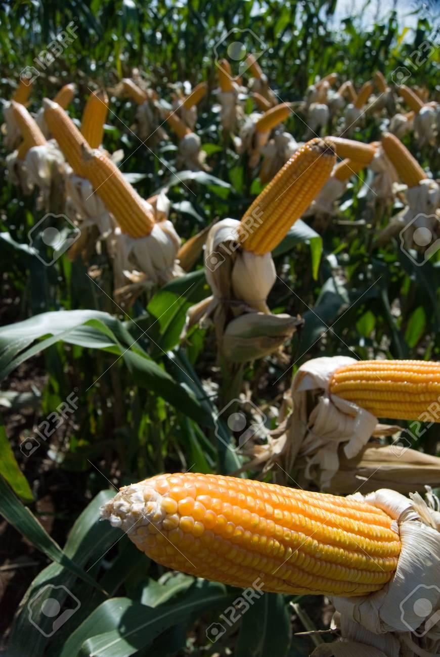 308f3c163f9 De maïs is een bekende geteeld graan voor een groot deel van de wereld. De