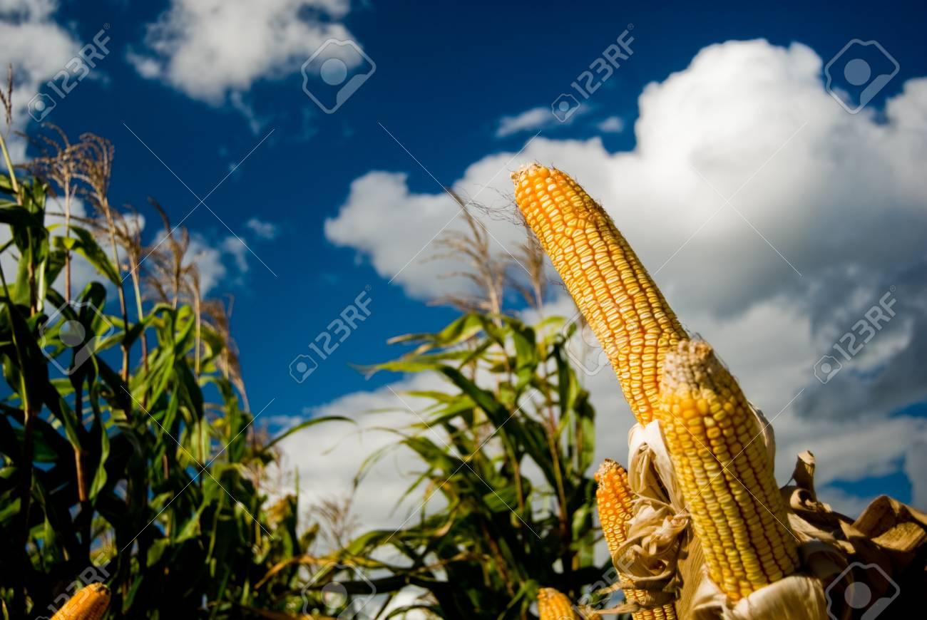ed153c780ad De maïs is een bekende geteeld graan voor een groot deel van de wereld