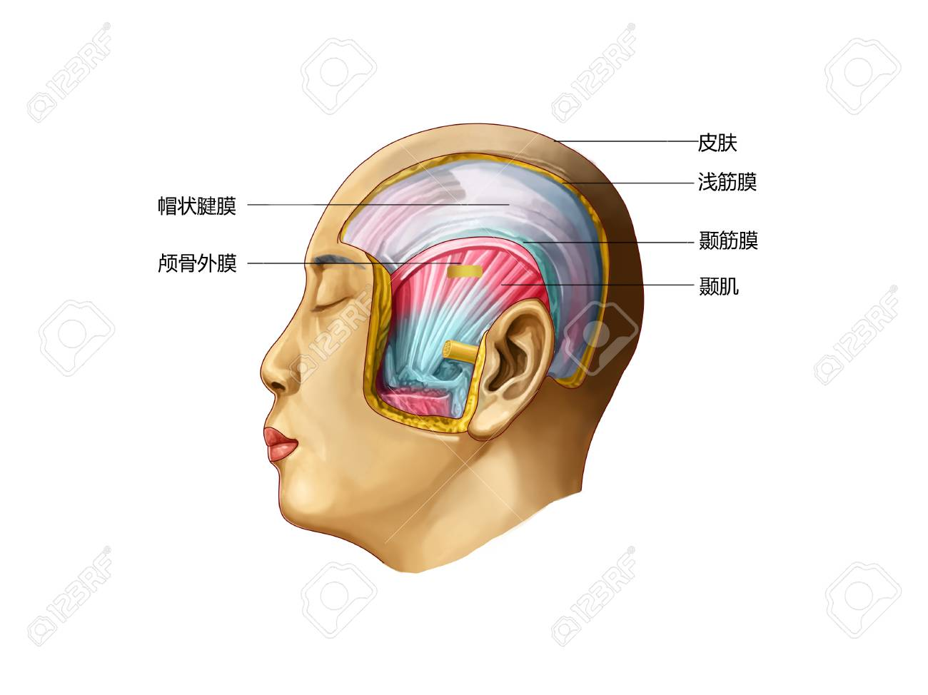The Temporal Region Stock Photo, Picture And Royalty Free Image ...