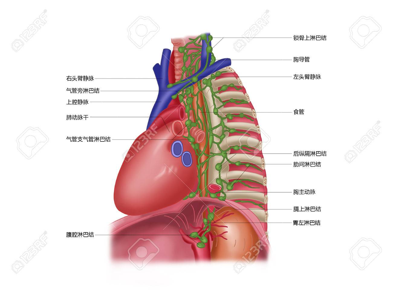 Mediastinal Lymph Node Stock Photo, Picture And Royalty Free Image ...