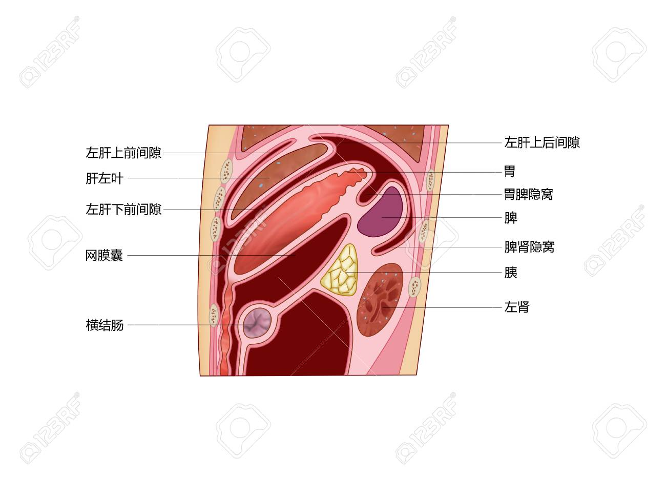 Sagittal Plane Of Inferior Phrenic Space Stock Photo, Picture And ...