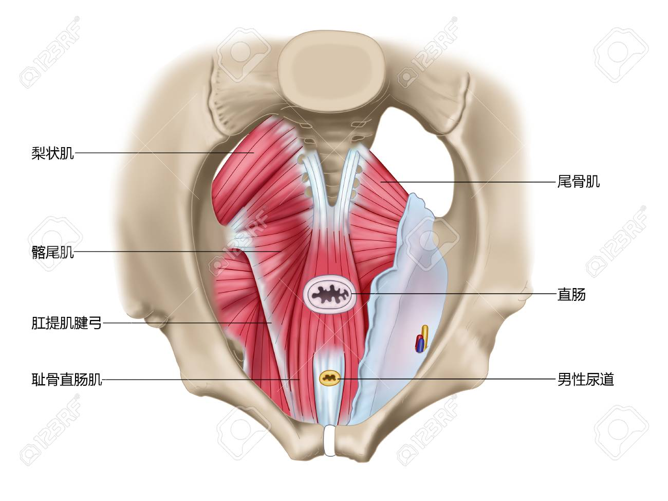 Superior view of pelvic diaphragm muscle of pelvic diaphragm