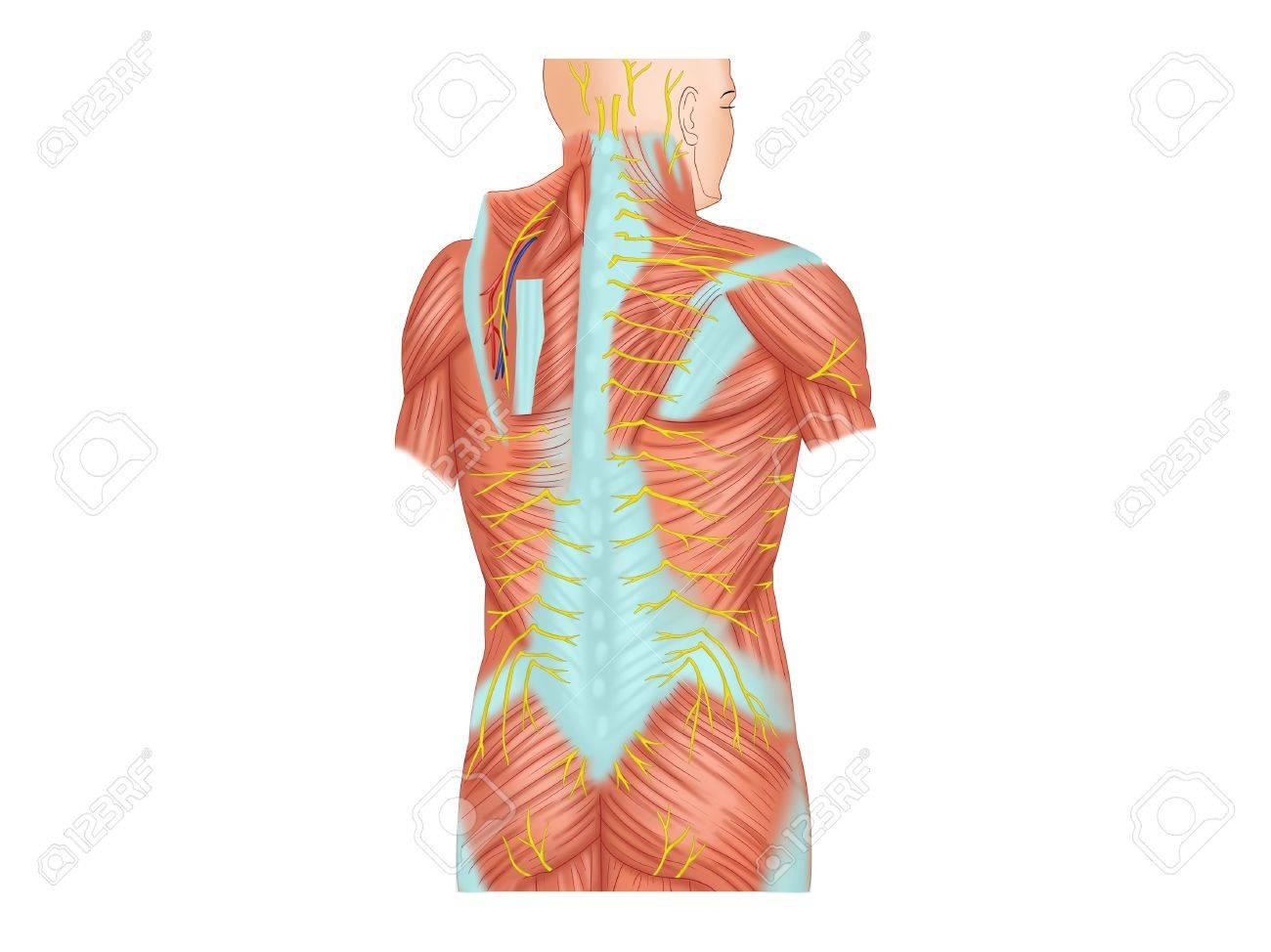 Atemberaubend Dorsale Menschliche Anatomie Ideen - Anatomie Ideen ...