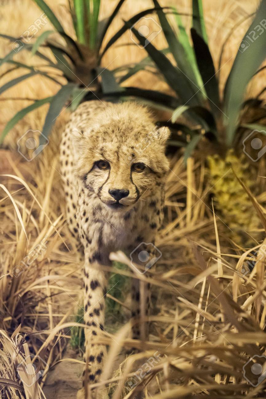 Image Of Stuffed Cheetah Displaying In The Batu Secret Zoo At Stock Photo Picture And Royalty Free Image Image 115910567