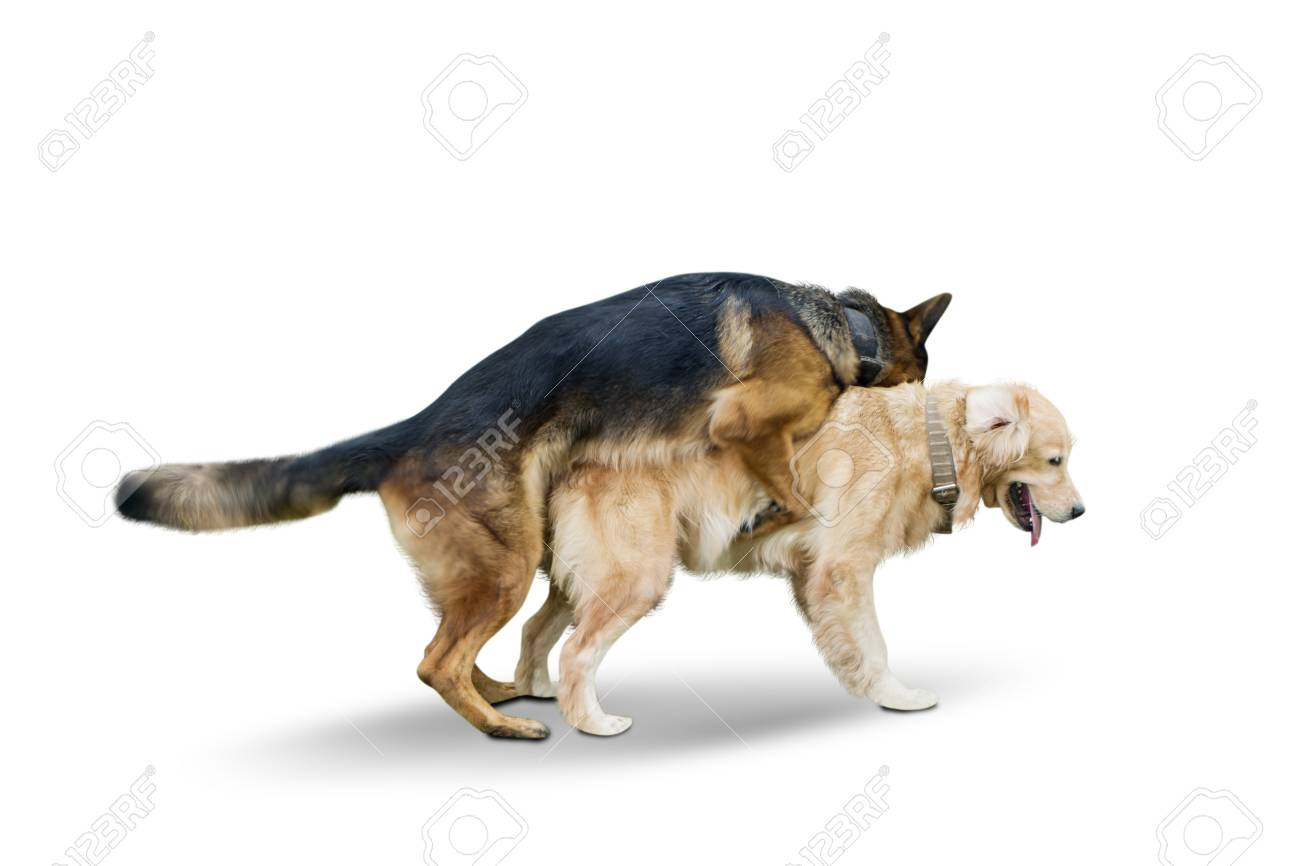 Image Of German Shepherd Dog Mating With Retriever Dog In The Stock Photo Picture And Royalty Free Image Image 119878281