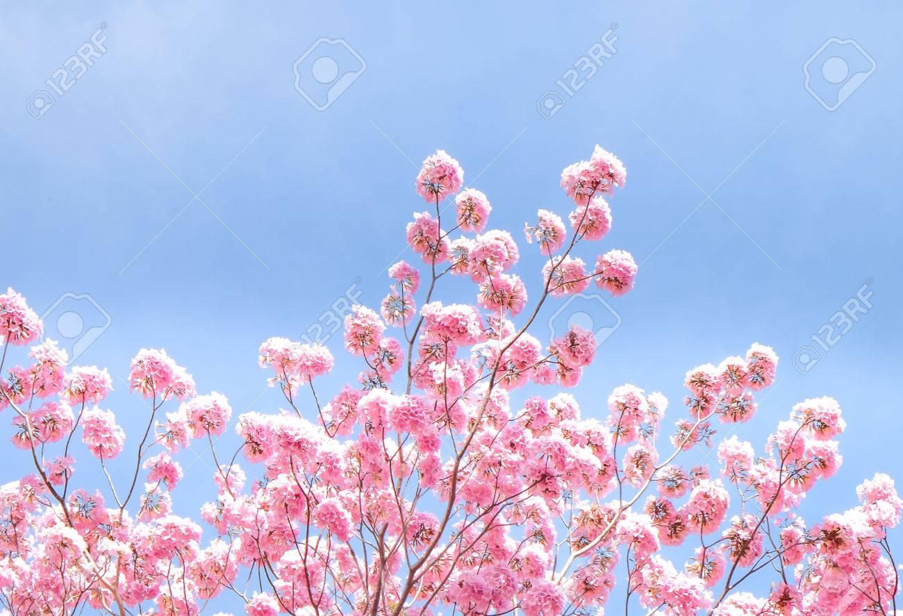 Pantip pink flowers.Pink tabebuya flower. Blooming at the wild..