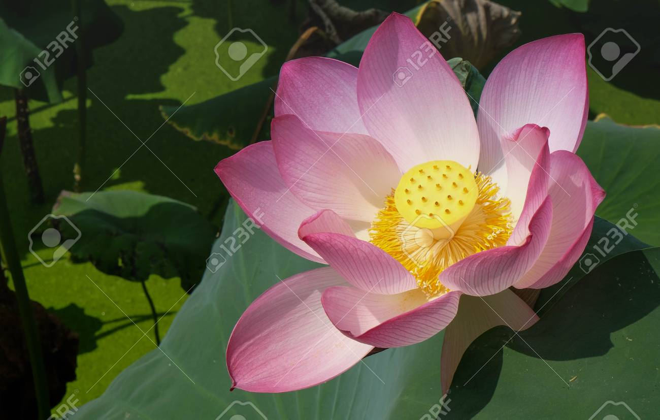 This Beautiful Pink Lotus Flower Is Rich Colors Of The Big Green