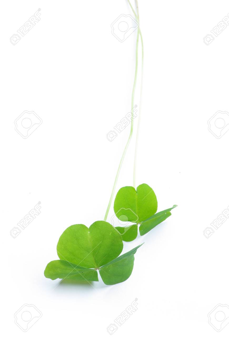 Close up of clover plant on white background Stock Photo - 6659742
