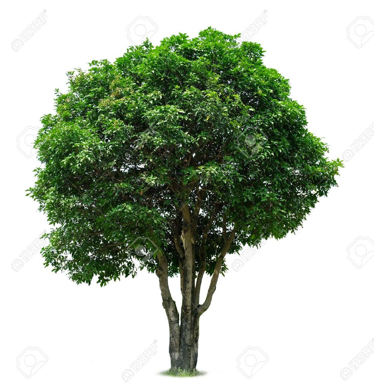 Mango Tree Stock Photo - 16686351