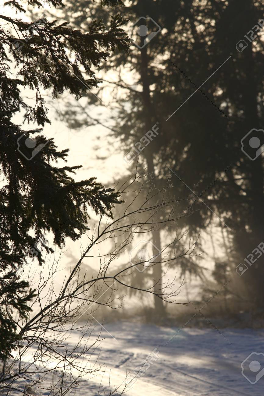 sun light in the dark winter forest stock photo picture and royalty
