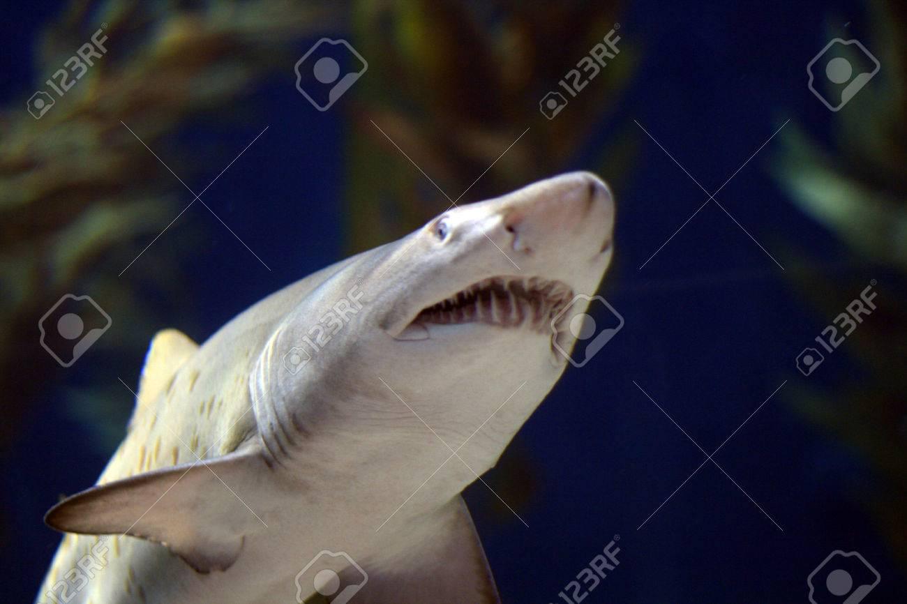 bull shark jaws open under water