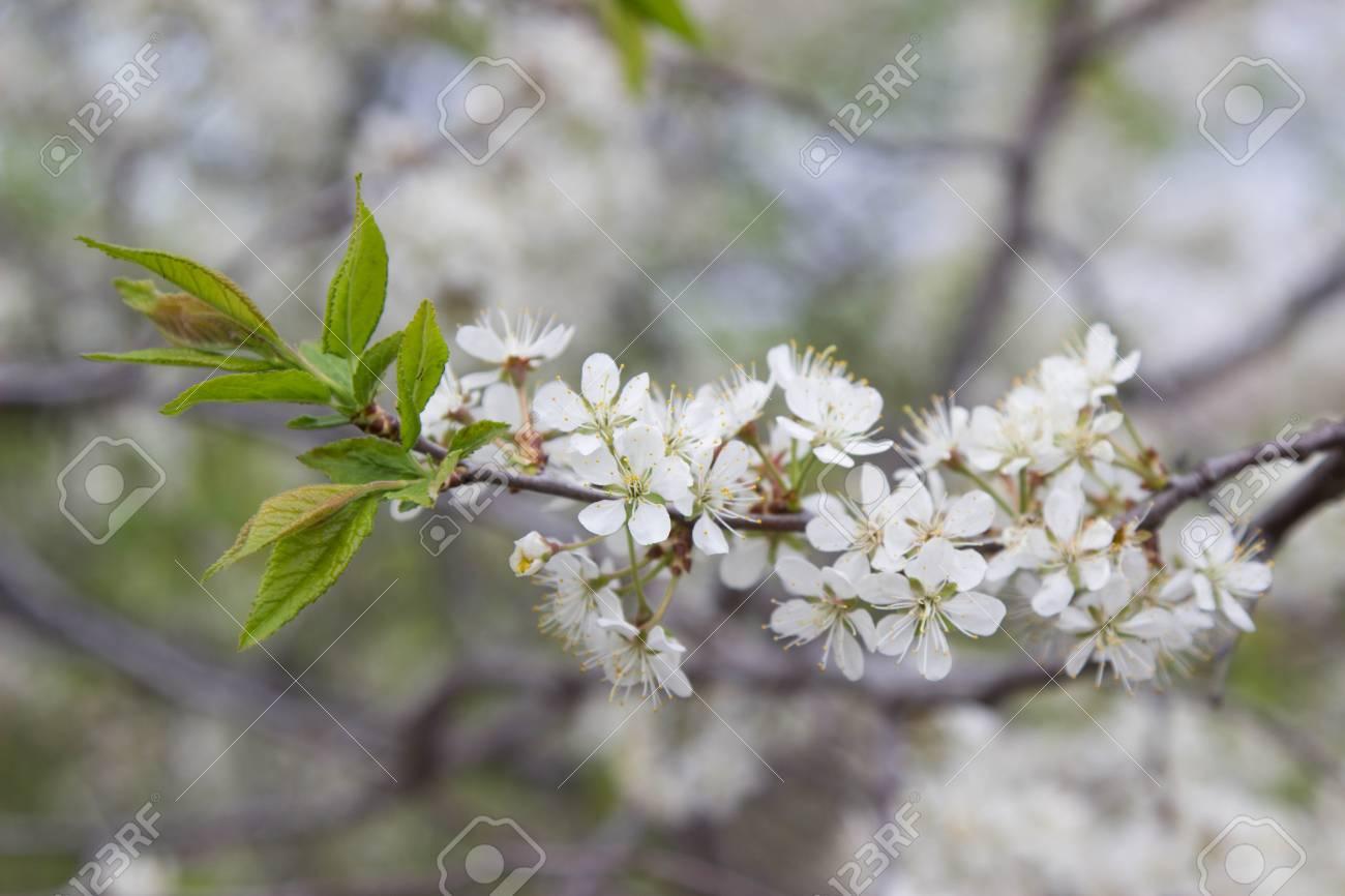 Flowering pear tree white flowers on tree branch stock photo flowering pear tree white flowers on tree branch stock photo 77939606 mightylinksfo
