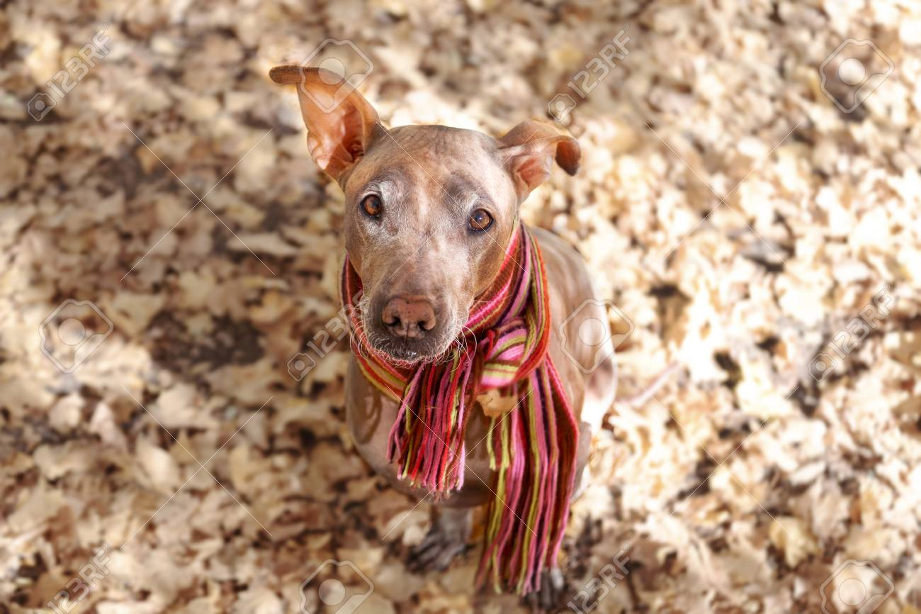Pretty Dog In Bright Stripped Scarf On The Autumn Fall Background