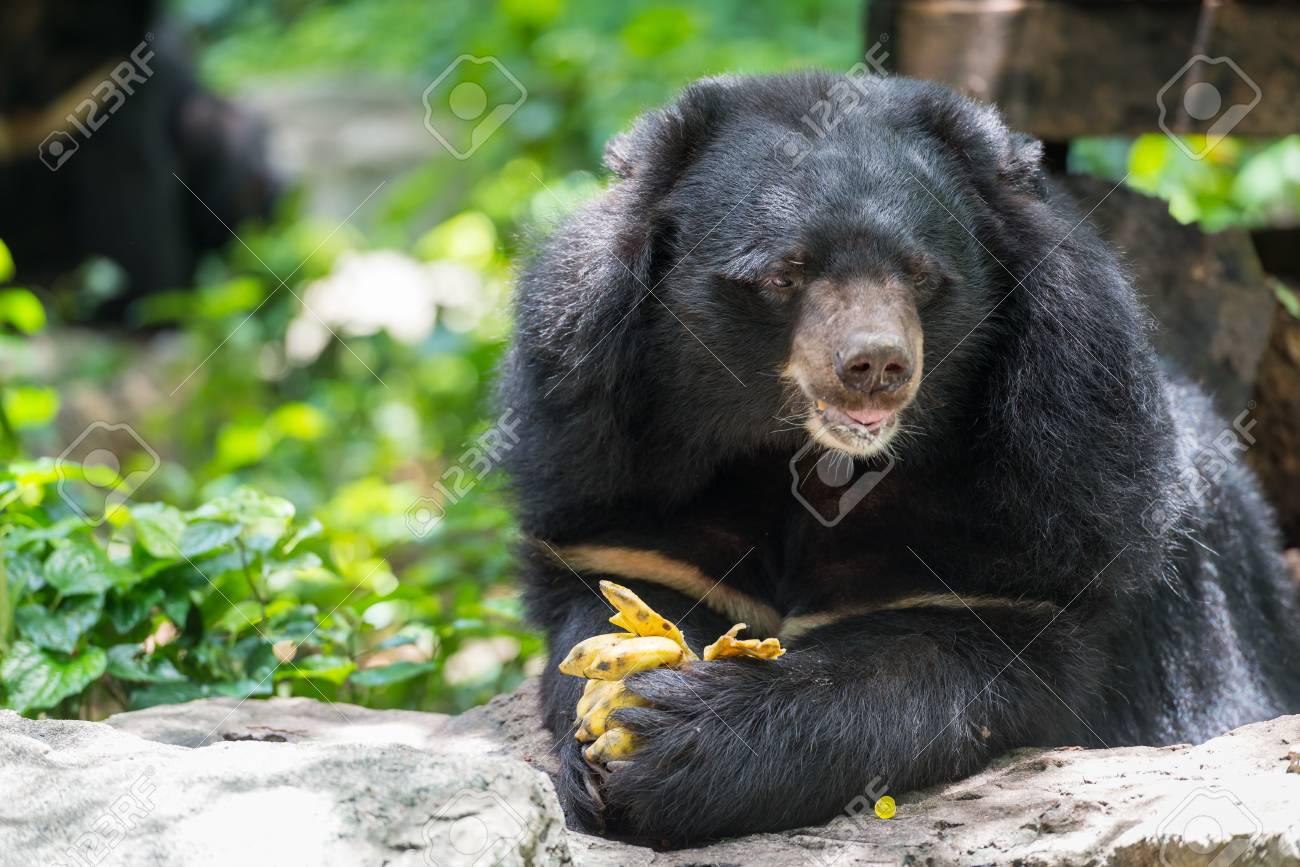 Ursus Thibetanus Eating Banana In Zoo Thailand Stock Photo Picture