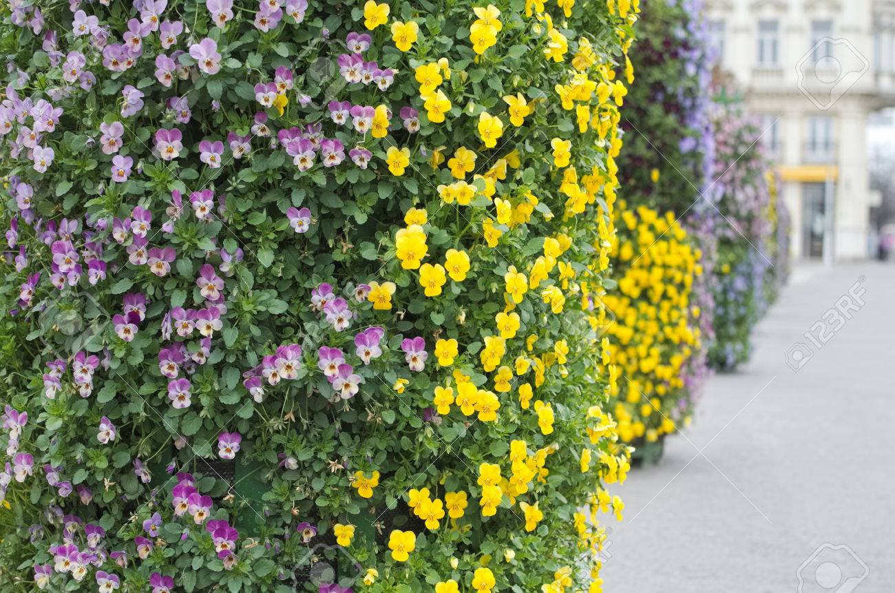 Bush Of Small Purple And Yellow Street Flowers Stock Photo Picture