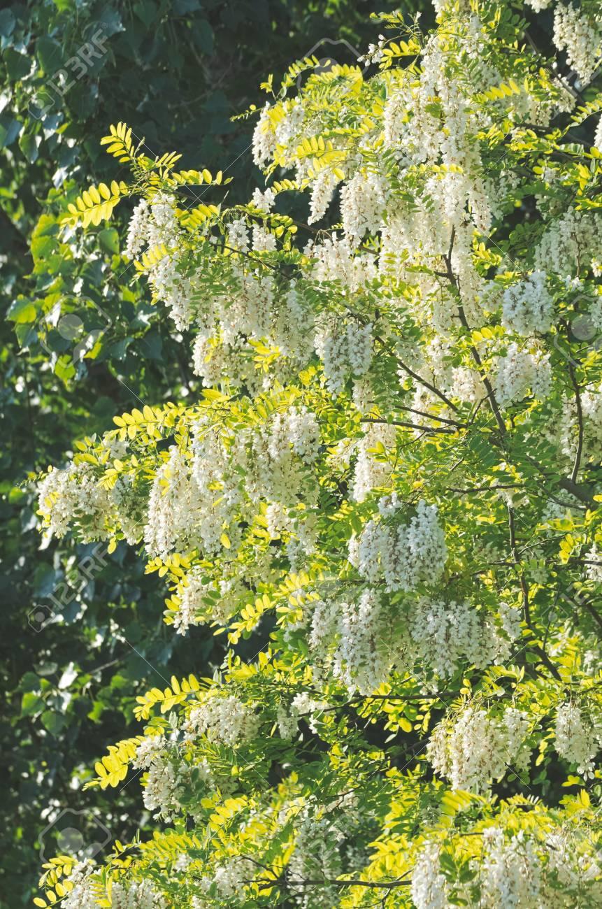 Flowering White Acacia Tree On A Summer Day Stock Photo Picture And