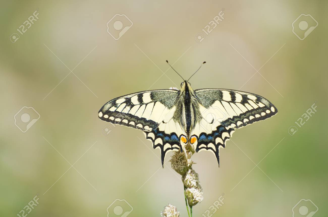 Papilio machaon common yellow or the old world swallowtail one of ... | 861x1300