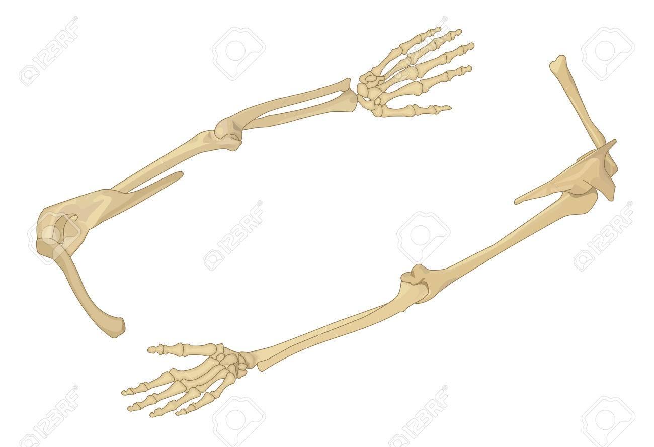 Shoulder Bone Flat Isometric Vector Illustration. Arm Bone 3d ...