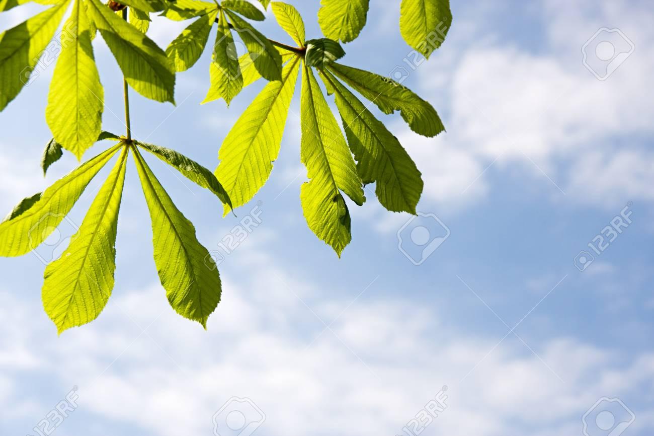 Detail of chestnut leaf agaist blue sky Stock Photo - 7041538