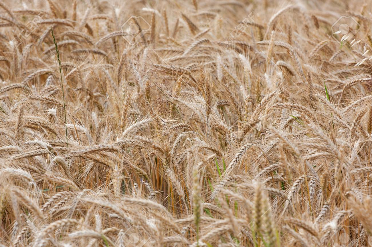 Wheat straws on a summer day in the field Stock Photo - 14568318