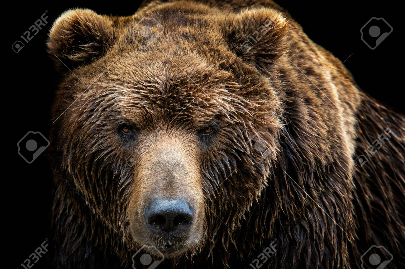 Front view of brown bear isolated on black background. Portrait of Kamchatka bear (Ursus arctos beringianus) - 104419808