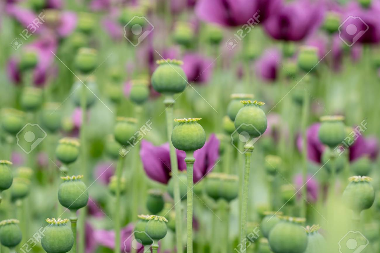 green opium poppy capsules purple poppy blossoms in a field