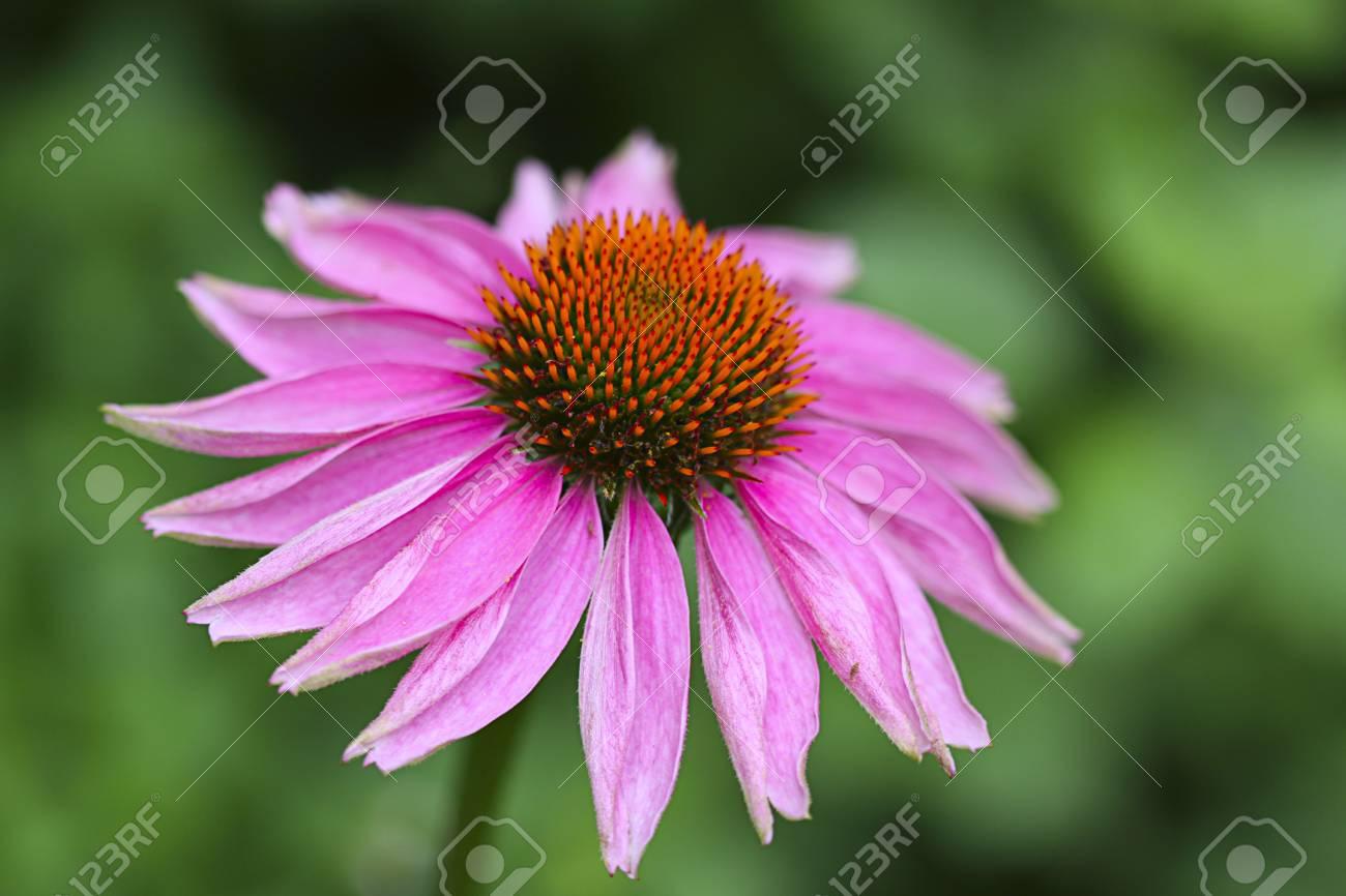 A pink daisy macro. Stock Photo - 4824140