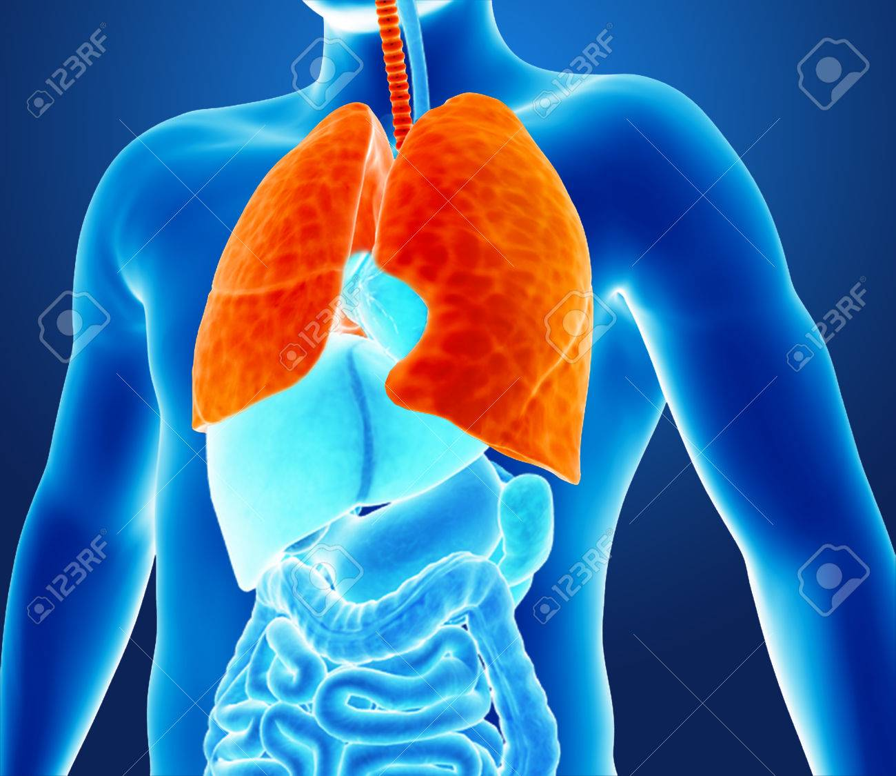 human lungs stock photo, picture and royalty free image. image, Cephalic Vein