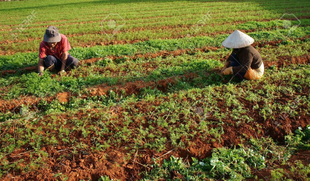 DA LAT, VIET NAM- DEC 28 Vietnamese Farmer Working On Vegetable ...
