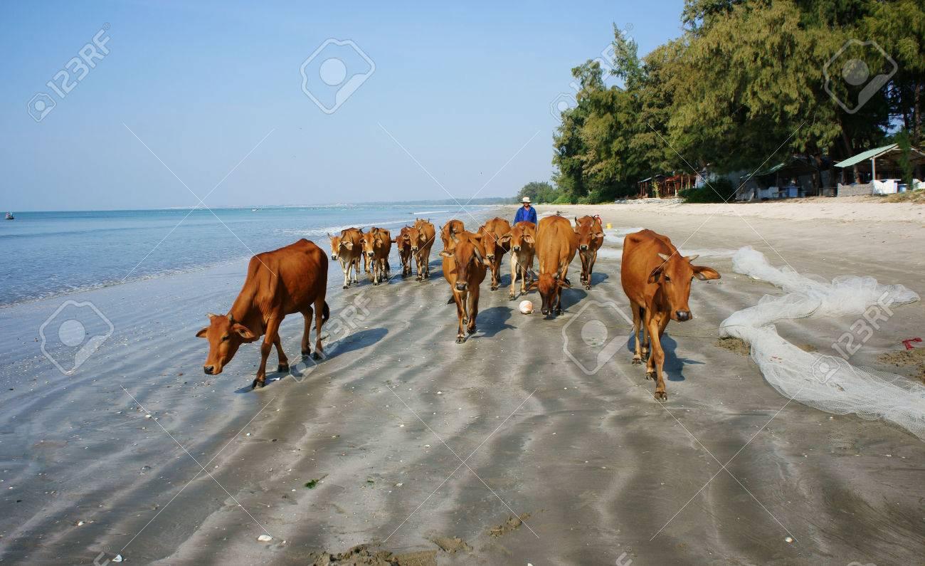 Binh Thuan Vietnam Jan 22 Funny Scene On Seaside People Pasture