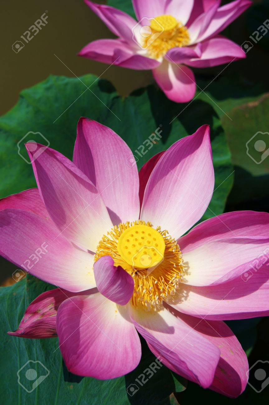 Close Up Of Lotus Flower In Spring Vibrant Pink Petal With Green