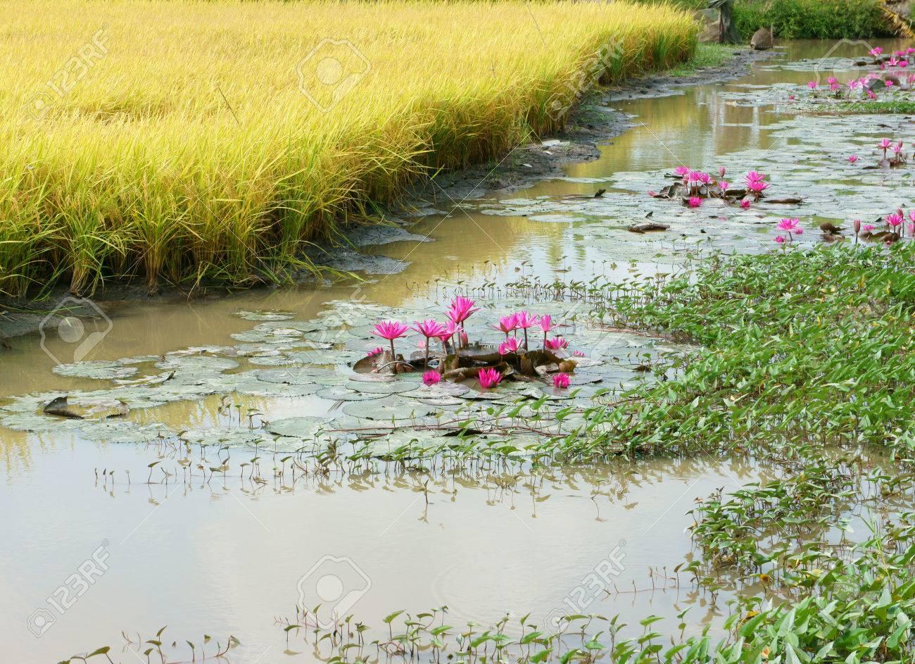 Mekong Delta Vietnam Rural Landscape With Yellow Rice Field