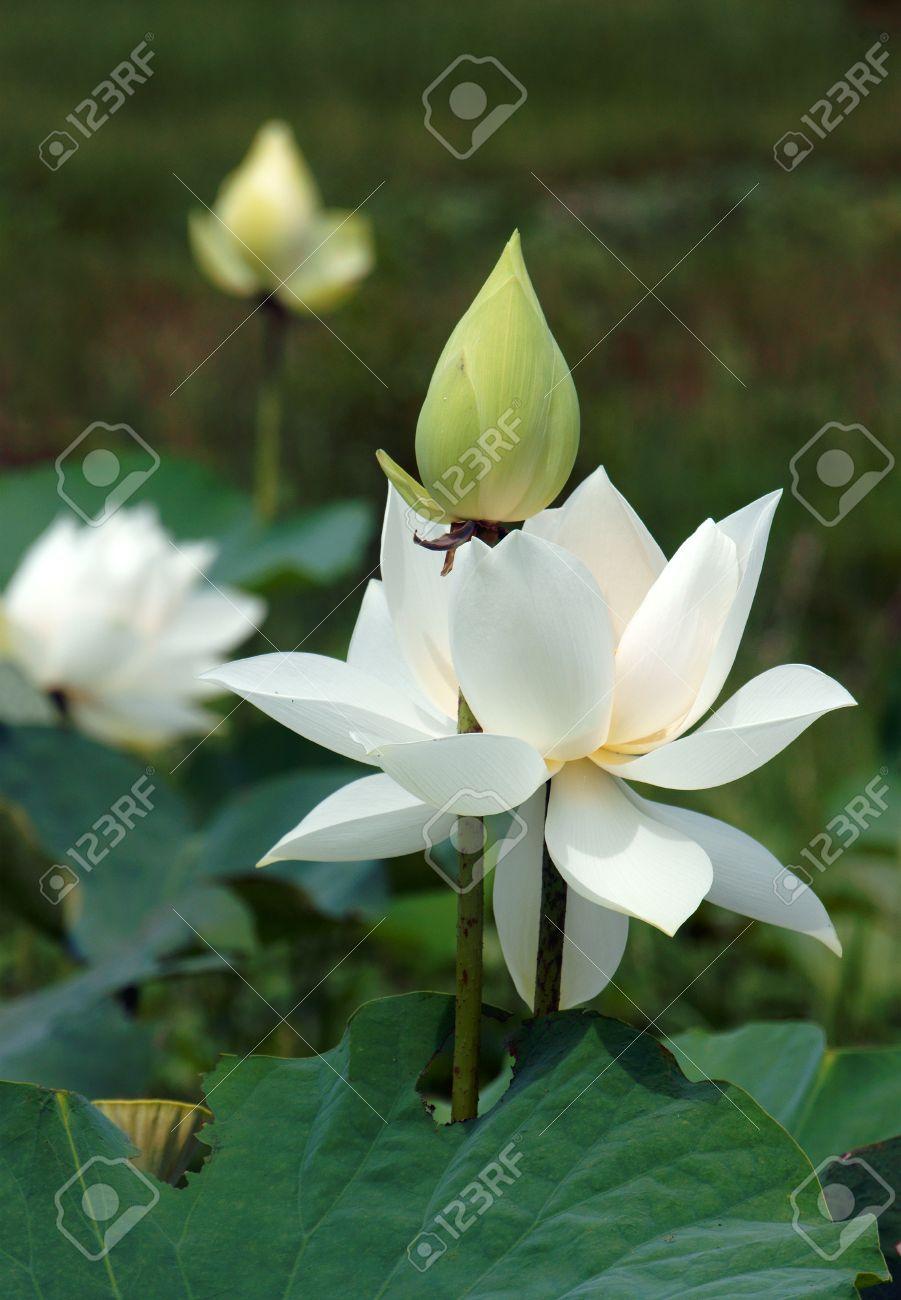 Exceptionnel Fleur Vietnamienne, Pur Fleur De Lotus Blanc, Symbole Du Vietnam  LM64