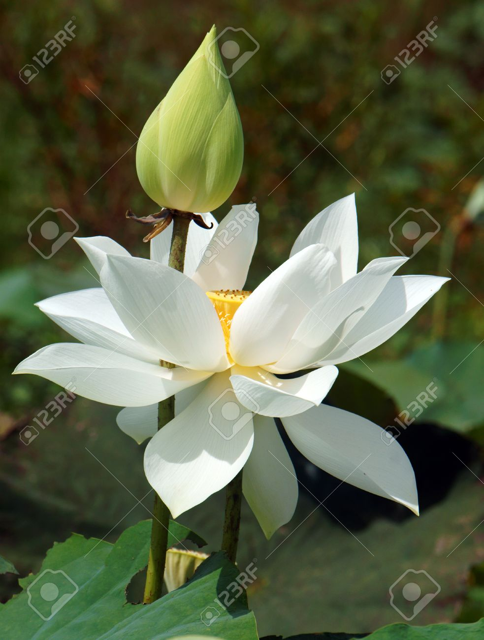 Colorful white lotus flower symbolism adornment wedding and vietnamese flower pure white lotus flower symbol of vietnam izmirmasajfo