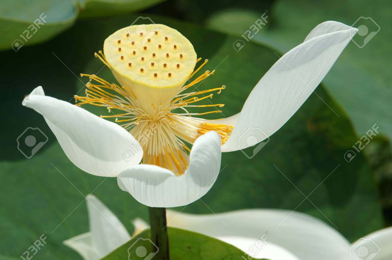 Meaning of white lotus flower image collections flower wallpaper hd meaning of white lotus flower image collections flower wallpaper hd amazing lotus flower color meaning buddhism izmirmasajfo