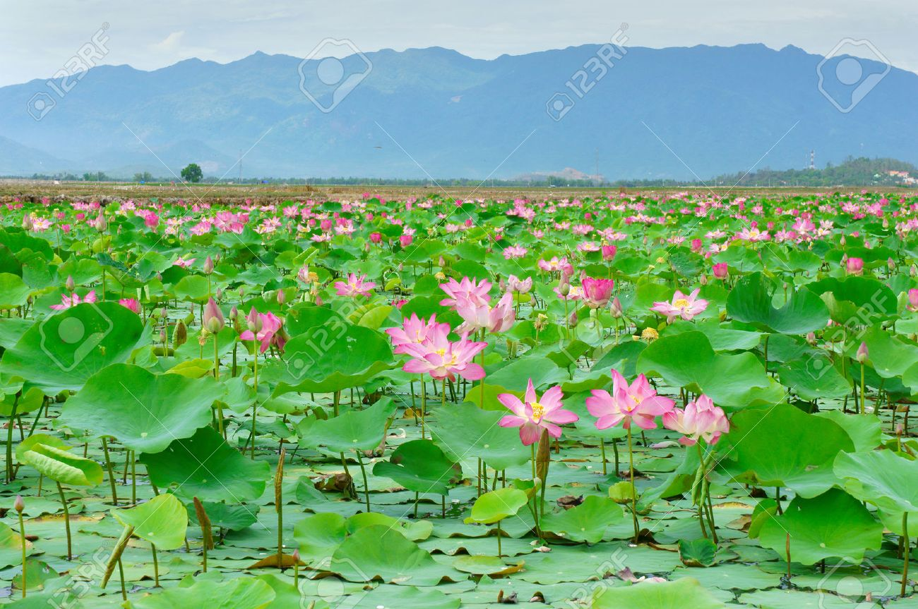 Vietnam Flower Lotus Flower Bloom In Pink Green Leaf On Water