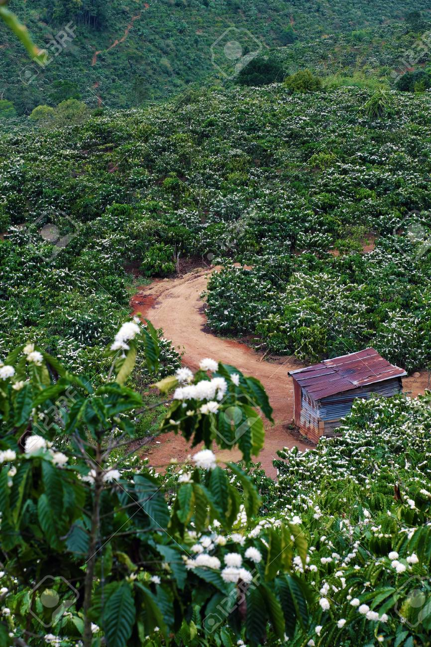 Amazing Scene At Vietnamese Countryside With Wide Coffee Plantation