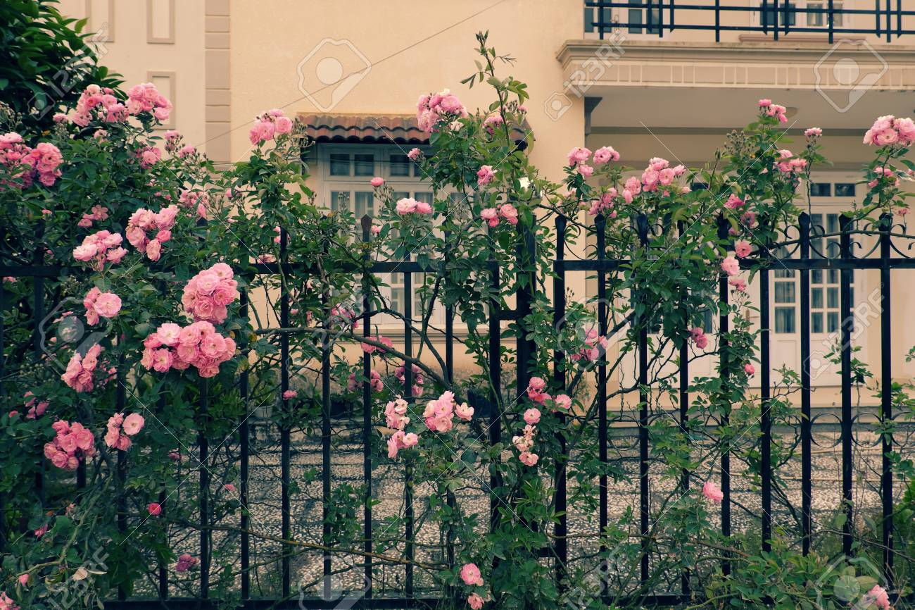 Beautiful Fence Of A Home At Dalat, Vietnam, Climbing Roses Trellis Front  Of The