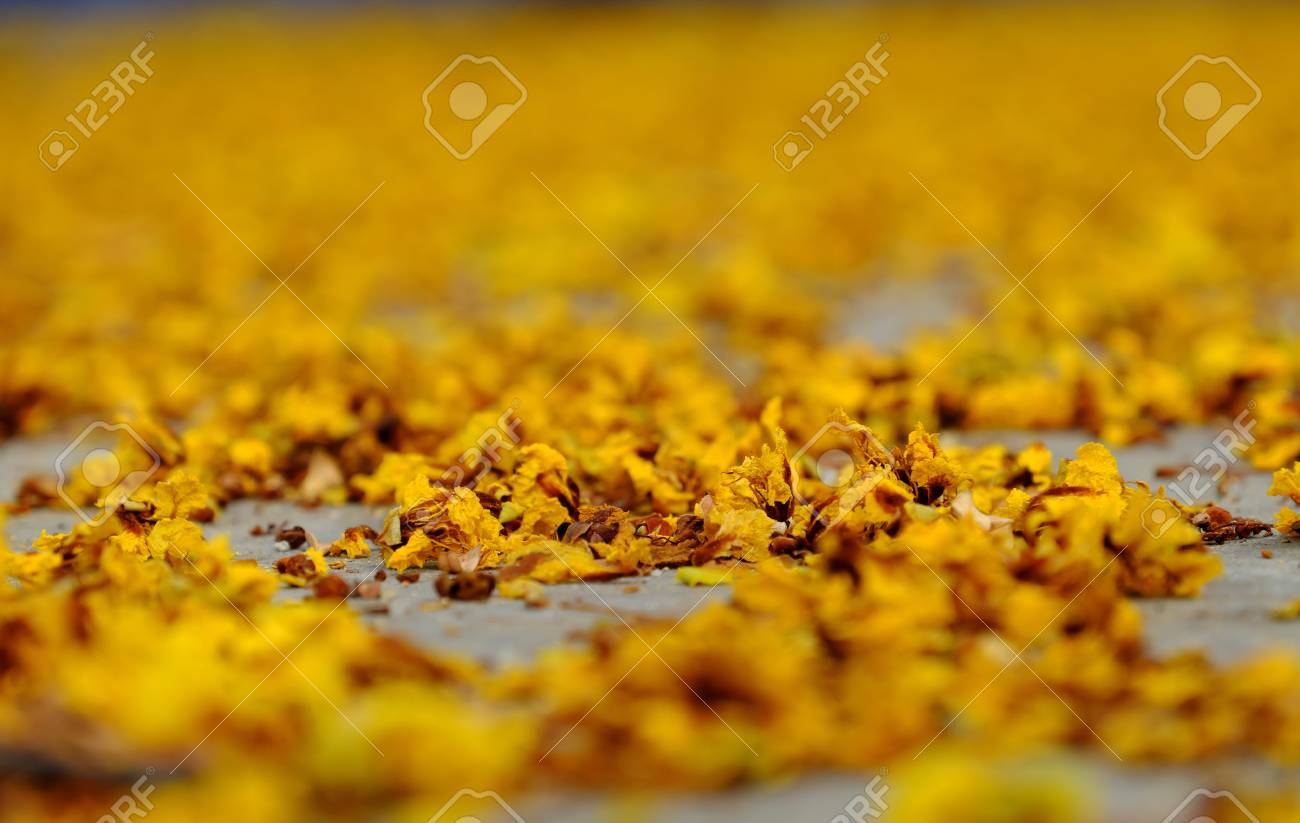Yellow flower petals on floor fall by faded flowers make beautiful stock photo yellow flower petals on floor fall by faded flowers make beautiful background of nature mightylinksfo