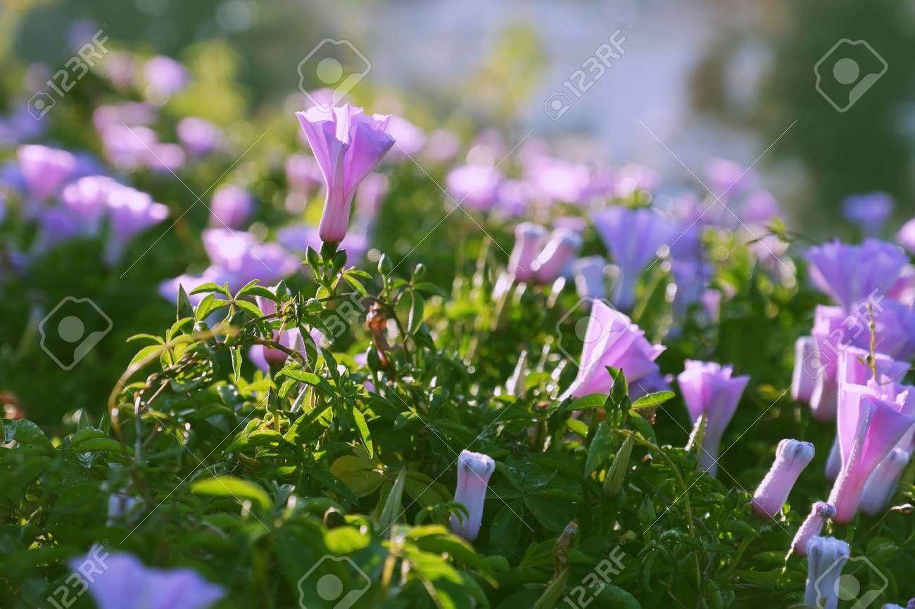 Nice Violet Morning Glory Flower Bloom In Spring Morning At Da