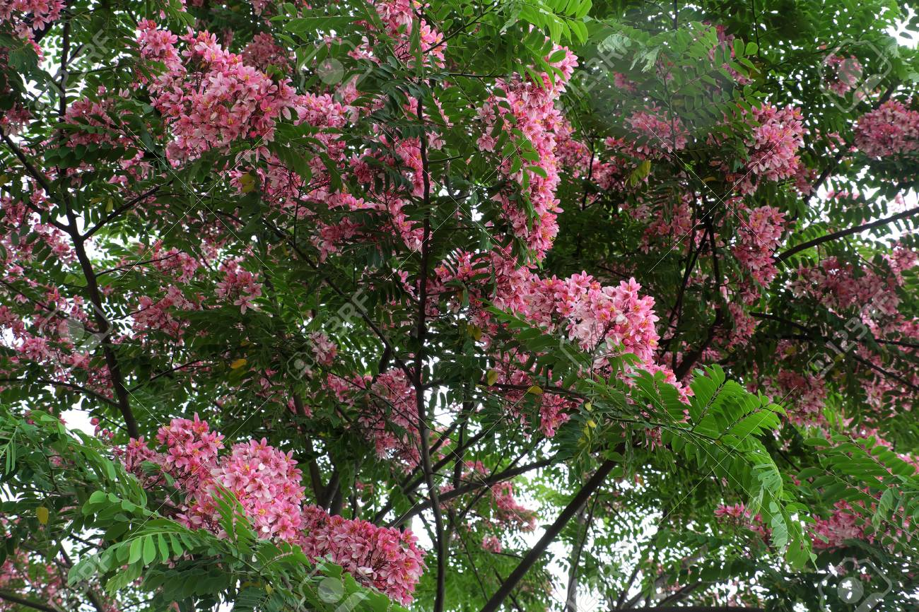 Beautiful Big Tree With Pink Flower Vermilion Flamboyant Tree