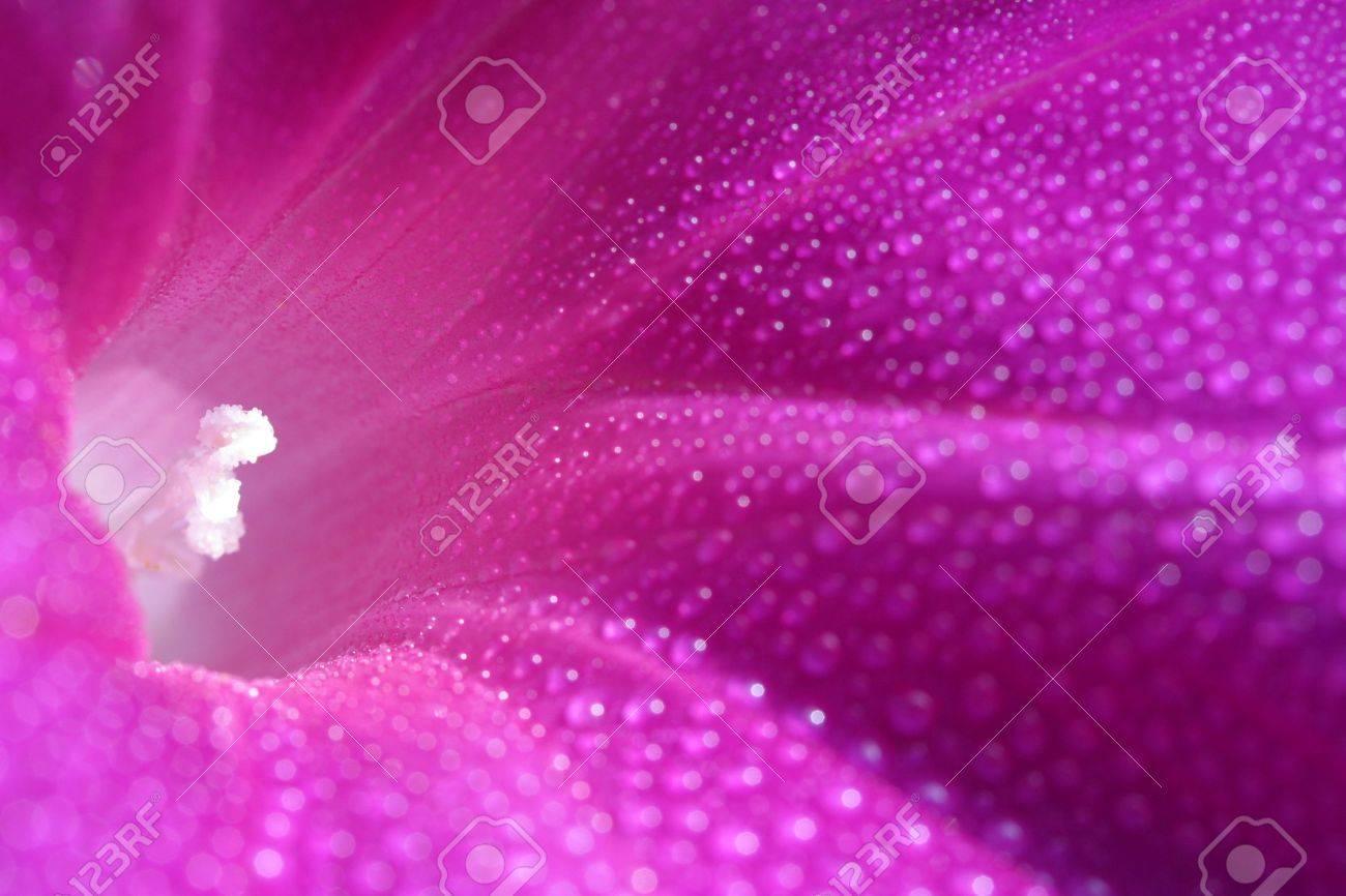 lant, morning glory Stock Photo - 7627702